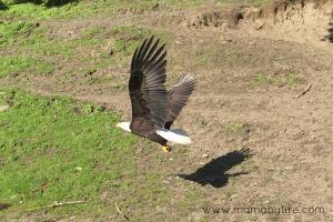Bald Eagle Flying away