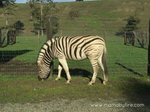 zebra eating grass at olympic game farm